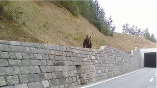 WWF hat Angst um Bär M25