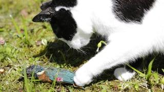 «Schnurrli» und «Tigerli» bedrängen Vogelarten