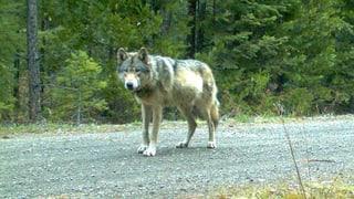 Ständerat will den Schutz des Wolfes lockern