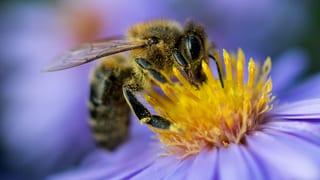 EU verbietet drei für Bienen schädliche Insektizide