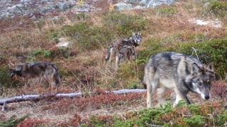 Im Wallis darf ein Jungwolf abgeschossen werden