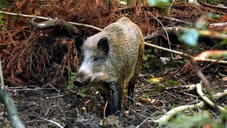 SVP will den Wildschweinen an den Kragen