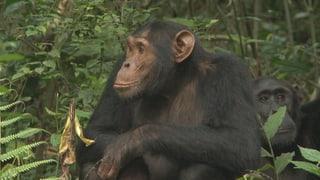 Video «Am 8. Juli «Einstein»-Spezial: Bei den Affen » abspielen