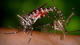 Tigermücken in der Schweiz – 5 Fragen und Antworten