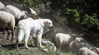 Wenn der Herdenschutzhund gefährlich wird