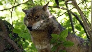 Wolfs-Meldungen in Nidwalden, Uri und Luzern