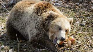 «Ein Bär darf nie den Eindruck haben, dass er Essen bekommt»