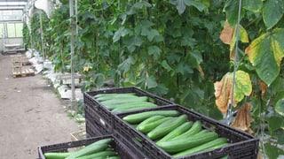 Immer mehr Gemüsebauern stellen auf Hors-Sol um