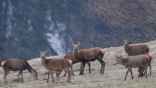 Hirsche in Graubünden: «Wir sind am Limit»