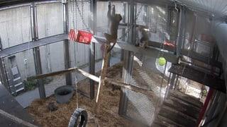 Vier Affen üben das Hirnexperiment