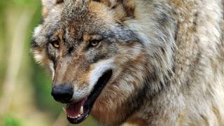 Ein zum Abschuss freigegebener Wolf hält sich offenbar im Süddeutschen Gebiet auf