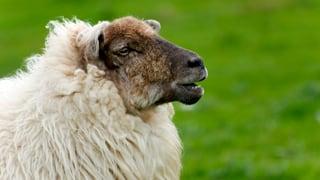 «Verkehrte Welt»: Schafe scheren, Schritt für Schritt