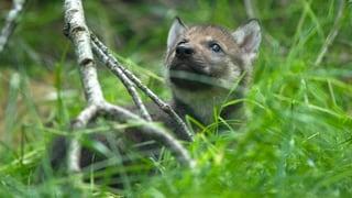 Genug vom Wolf: Walliser protestieren mit Initiative