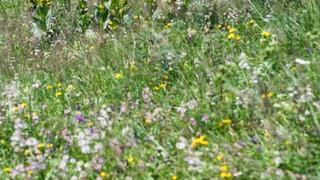 Ausserrhoden sucht die schönste Blumenwiese