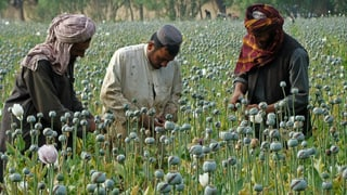 Afganistan ha racoltà 43% dapli opium ch'il 2015