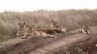 Löwen werden zum Schutz der Öffentlichkeit erschossen (Artikel enthält Video)