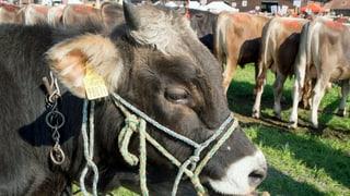 Zuger Stierenmarkt: Handel mit Kolossen inmitten von Hochhäusern