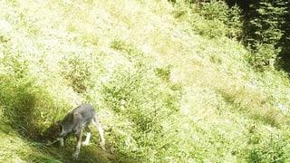 Erstmals ein Wolf in der Bündner Herrschaft