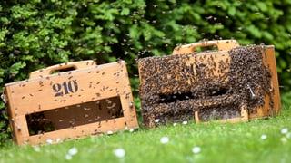 Bienensterben: EU-Pestizidverbot scheitert