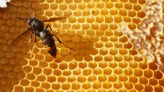 Schweizer Honigbiene hat einen neuen Feind