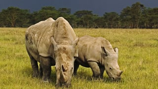 Über 1200 Nashörner in Südafrika gewildert