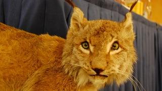 Streit um Luchs, Wolf und Bär flammt im Kanton Bern wieder auf