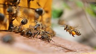 Imker schlagen Alarm: Hohe Verluste an Bienenvölkern
