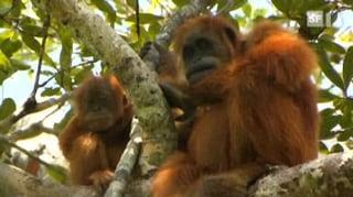 Palmöl-Boom: Fatale Folgen für Urwald und Affen