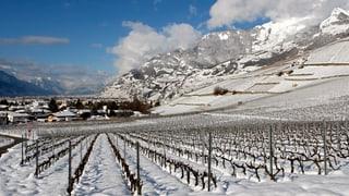Gutes Weinjahr im Wallis