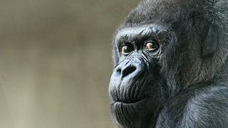 55 Jahre im Basler Zoo: Gorilla Goma feiert runden Geburtstag