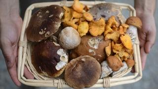 Erst wenig, dann viele giftige Pilze im Aargau