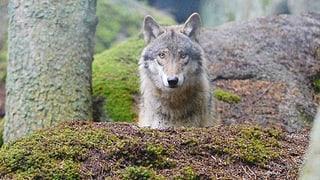 Wolfsabschuss: WWF erhält teilweise Recht