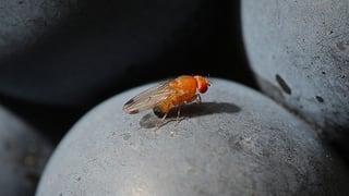 Fradaglia mazza insects