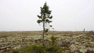 Wo steht der älteste lebende Baum der Welt?