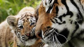 Population der wildlebenden Tiger steigt