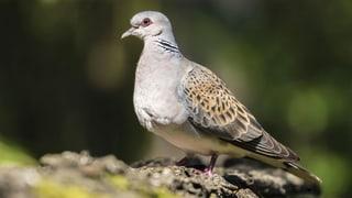 Immer mehr Vogelarten verstummen