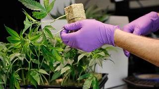 Lesen Sie hier mehr zur Legalisierung in Kalifornien.