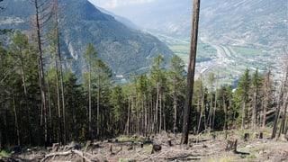 Klimawandel verschiebt den Walliser Wald nach oben