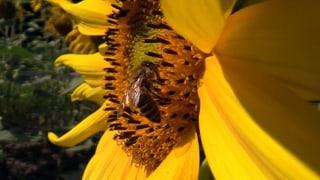 Video «Bienen: Gärten mit und ohne Gift (3/3)» abspielen