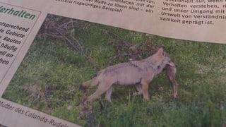 Wegen mildem Winter bleiben Calanda-Wölfe oberhalb der Dörfer