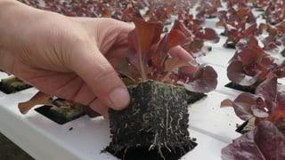 Hydrosalat aus Oftringen gedeiht und ist bald erntereif