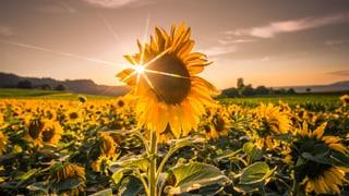 Sonnenblumen: Immer der Sonne nach