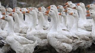 Erste Meldungen über Vogelgrippe-Fälle bei Hausgeflügel