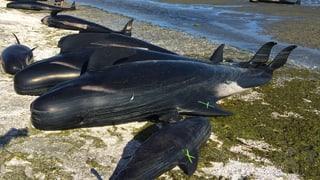 Hunderte Wale verenden an Neuseelands Küste