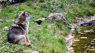Luf crudà giu tar l'Alp da Trin