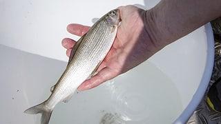 Droht erneut ein Fischesterben im Rhein?
