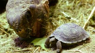 Babyboom bei den Riesenschildkröten