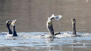 Kormorane fressen frische Fische