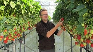 Schweizer Erdbeeren dank Gastarbeitern