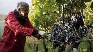 Kleinste Weinernte für die Schweizer Winzer seit 1978